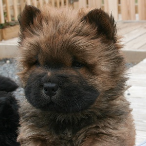 Photo of another of our Chow Puppies