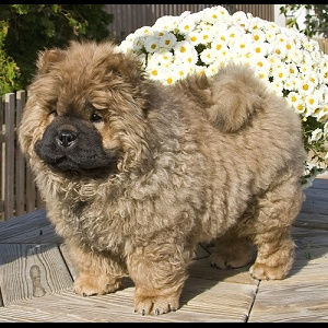Photo of one of our Chow Puppies