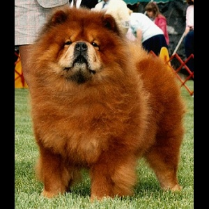 Photo of one of or greatest Chows, Tiger